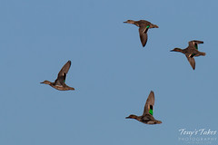 November 13, 2015 - Green-winged Teal ducks fly over Adams County. (Tony's Takes)
