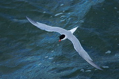 Common tern in flight from above (P_1_B) Tags: bird nature birds ferry wildlife isleofwight tern birdwatching commontern thesolent terninflight sigma150500 commonterninflight sonya77 slta77 slta77v sonya77v