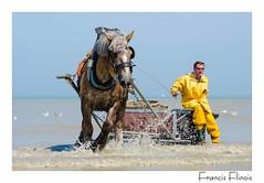 Pêche à la crevette à cheval Oostduinkerke (B) (francis.flinois) Tags: cheval concours oostduinkerke pêche crevette