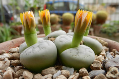 Lithops werneri. [C 188, Namibia,  25 km NNE of Usakos, type locality] (1) (Succulents Love by Pasquale Ruocco (stabiae)) Tags: southafrica succulent lithops mesembryanthemum namibia mimicry stabiae mimetismo piantegrasse aizoaceae succulente mesembryanthemaceae cactusco mesembs fulviceps floweringstones sassifioriti pasqualeruocco forumcactusco suculentslove
