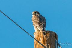 Posing Prairie Falcon