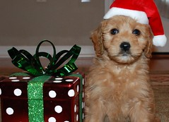 ho-ho-ho--santa-gingers-in-town--ginger-on-her-first-day-in-her-new-home--shes-one-of-belle-and-chewys-girls-_4201500315_o