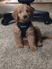 honeys-little-boy-oliver-looks-so-handsome-in-his-new-harness_18599165853_o