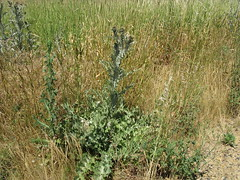 Onopordum illyricum plant3 CWS (Macleay Grass Man) Tags: asteraceae onopordum illyricum taxonomy:binomial=onopordumillyricum illyrian thistle