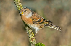 JWL3719 Brambling. (jefflack Wildlife&Nature) Tags: brambling bramblings birds avian animal wildlife wildbirds woodlands farmland finch finches forest heathland hedgerows gardenbirds songbirds countryside nature ngc npc