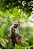 young monkey (Sam Scholes) Tags: sangehmonkeyforest badungregency purabukitsari hinduism hindu travel bukitsaritemple bali palaforest sangeh holymonkeyforest vacation indonesia denpasar moneyforest abiansemal id