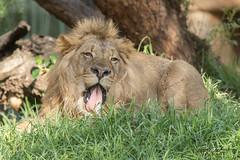 Ernest (ToddLahman) Tags: ernest african lion lioncamp male sandiegozoosafaripark safaripark canon7dmkii canon canon100400 escondido mammal animal