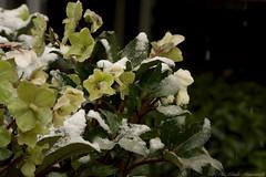 Winter (Natali Antonovich) Tags: winter belgium belgique belgie flowers snow frost tervuren christmas