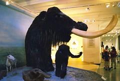 Saiga (Saiga tatarica) + Wollhaarmammut (Mammuthus primigenius) 441154-3A-1 (martinfritzlar) Tags: darmstadt hessen deutschland museum hessischeslandesmuseum tier säugetier paarhufer hornträger gazelle saiga bovidae saigatatarica elefant mammut wollhaarmammut elephantidae mammuthus mammuthusprimigenius germany mammal saigaantelope elephant mammoth woollymammoth
