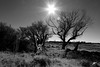 Reaching for the sun [explore] (jdkvirus) Tags: jk southafrica canon 7d parys freestate bw