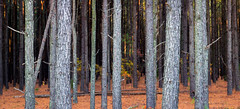 Pine Forest... (jason_frye) Tags: pinetree northcarolina