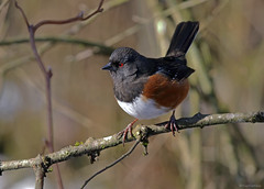 Spotted Towhee - 094A6856a1c1 (Sue Coastal Observer) Tags: spottedtowhee spto pipilomaculatus campbellvalleypark langley bc britishcolumbia canada