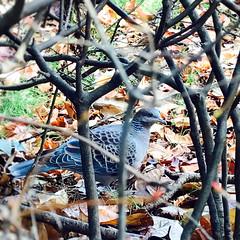 Wild pigeon, Tokyo (Kanako_M) Tags: nature bird pigeon tokyo japan phototoaster