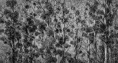Christmas decoration (Jean-Luc Peluchon) Tags: fz1000 panasonic lumix blackandwhite bw graphic rural campaign tree artistic vegetation