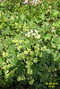Alpine lady's mantle (Gru) (davidshort) Tags: 2016 alpineflowers ladysmantle