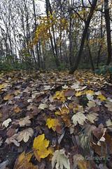 foglie nel sottobosco, leaves in the undergrowth (paolo.gislimberti) Tags: paesaggi landscapes wood bosco alberi trees foglie leaves sottobosco undergrowth autunno autumnalcolors autumn coloriautunnali