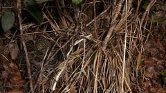 Eastern Diamondback (Crotalus adamanteus) (Ian Deery) Tags: everglades eastern diamondback edb crotalus adamanteus rattlesnake rattler venomous snake herp herping ian deery sony a55 1855 florida