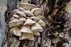 5/365 (2) 2017 Edition- Front Yard Flora (Angela D Beck) Tags: fungus outside tree bark weathered nature flora nikon d750 dof 5365 day5 project365 2017 mushroom 365 edition 3652017 day 5jan17