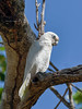 Little Corella (Cacatua sanguinea) (Arturo Nahum) Tags: darwin northernterritory australia wildlife aves animal birdwatcher bird pajaros canoneos7dmkii