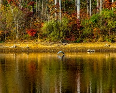 Reflecting Blue Herring (Daveyal_photostream) Tags: beautiful beauty birds bird nikon nikor nature flying reflection d600 chamberslake pennsylvania trees lake anawesomeshot ripples outdoor flight water colors color colorreflection wings wingspan flyingherring inair colorful