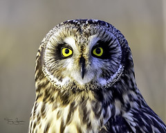 """Look Into My Eyes"" Short-Eared Owl, Western Washington (Hawg Wild Photography) Tags: shorteared owl short ear owls bird birds of prey raptor raptors pacific northwest western washington nature wildlife animal animals terrygreen nikon600mmvr nikon d810 hawg wild photography"