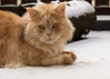 Look, my snow is back ! (FocusPocus Photography) Tags: linus winter schnee snow katze kater cat chat gato tier animal haustier pet