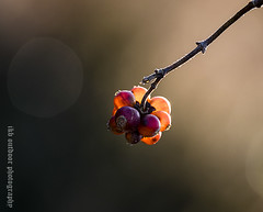 BacklitHoneysuckle Berries 2 (ianbartlett) Tags: backlit outdoor contrajour berries honeysuckle light