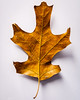 2017-01-10_Leaf in Color_DSC_0001-1_LR (petcoffr) Tags: d200 nikon nikond200 russpetcoff russellppetcoff russellpetcoff haymarket virginia foliage leaf white background texture minimalism surreal tree pattern