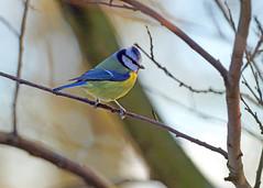 Blue Tit (eric robb niven) Tags: ericrobbniven scotland bluetit wildlife wildbird nature dunkeld