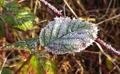 Winter leaves (phillipbonsai) Tags: ice leaf leavalleypark blackberry frost hoarfrost evergreen winter britaininwinter