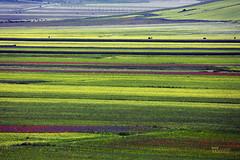 _UM14751nsR (Foto Massimo Lazzari) Tags: fioritura lenticchie papaveri fiordaliso fiori