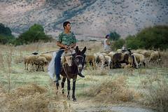 Η παράδοση συνεχίζεται  Tradition continues (Dimitil) Tags: shepherd troop donkey people trikala thessaly zarko animals sheep tradition traditionallife traditionaljobs naturallife rurallife ruralscenes rural