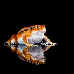 Tomato frog (susie2778) Tags: tomatofrog frog flash reflections olympus omdem1mkii 60mmmacrof28 captivelight captive dyscophus amphibian sambavatomatofrog bournemouth dyscophusguineti