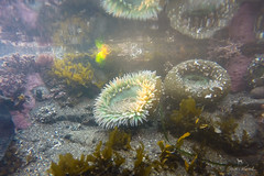 9:52 Dear Anemone (Claudia Künkel) Tags: oregon giantgreenanemone coast underwater gopro hero3 silveredition seaanemone