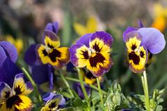 Pensée (ambrasimonetti) Tags: spring flower flowers daffodil cat printemps primavera gatti giunchiglie narcisi crocus zafferano macro