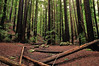 Towering Redwoods (J-Fish) Tags: redwood sequoiasempervirens forest trail sanbornpark saratoga california d300s 1685mmvr 1685mmf3556gvr