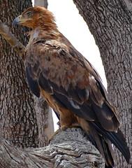 Tawny Eagle (Aquila rapax) (berniedup) Tags: lowersabie kruger tawnyeagle aquilarapax eagle taxonomy:binomial=aquilarapax