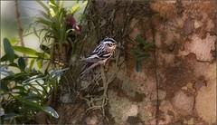 7840-   Black and White Warbler (canuckguyinadarkroom) Tags: birds warbler