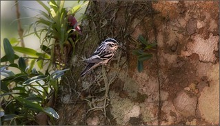 7840-   Black and White Warbler
