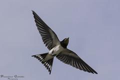 Volando bajito ... (Dancodan) Tags: naturaleza nikon aves pajaros animales tamron d7100