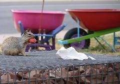 Mama Squirrel Stuck With Too Big A Bite (suenosdeuomi) Tags: newmexico santafe art apple fence frozen squirrel stuck mama bite boundary wheelbarrels panasoniclumixdmcfz35