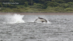 _7D21692 (Charlie S Phillips) Tags: sea marine dolphin conservation wdc charlie dolphins whale moray firth bottlenose tursiops truncatus