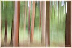 Redwoods... (Missy2004) Tags: trees icm studio26 assignment17intentionalcameramovement