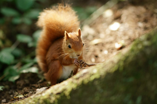 Alverstone Mead Squirrel