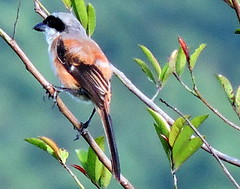 Long-tailed Shrike, Lanius Schach (asterisktom) Tags: tripvietnamaug2015 2015 august vietnam bachmanationalpark bachma nationalpark bird shrike longtailedshrike laniusschach vogel ave 鸟 niao птица 鳥