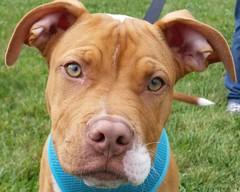 Steeler (DDA1) Tags: dog puppy adopt adoption amstaff adoptable pitbullmix adoptioncenter adoptionshelter