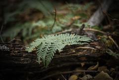 earthy (Danielle_M_Bedics) Tags: fern nature earthy descansogardens