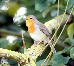 Rotkehlchen III (kairemwatt) Tags: vgel rotkehlchen singvgel standvogel fliegenschnpper rieselfeldermnster