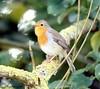 Rotkehlchen III (kairemwatt) Tags: vögel rotkehlchen singvögel standvogel fliegenschnäpper rieselfeldermünster