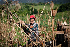Harvesting corn (Lil [Kristen Elsby]) Tags: travel cornfield topv1111 cuba editorial farmer dailylife agriculture vinales travelphotography documentaryphotography canon7020028l vinalesvalley westerncuba valledevinales canon5dmarkii cornfarmer